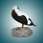 Artificial Spectacled Eider. Re-creation.